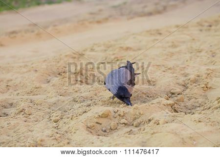 Grey crow on sand