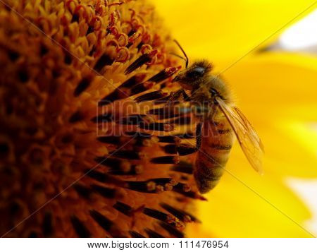 bee working on the sunflower