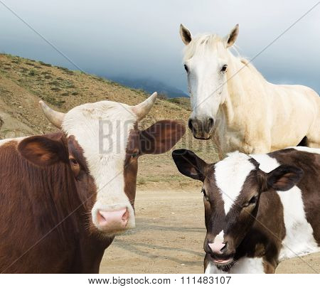 Cow And Calf And Horse