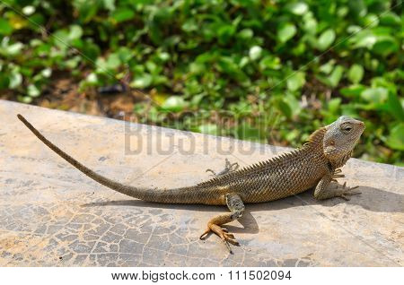 Lizard Basking In The Sun (the Wildlife Of Sri Lanka)