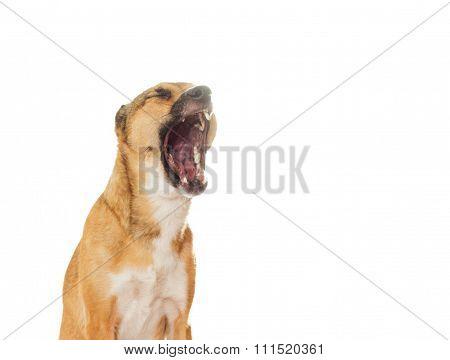 Funny Dog Yawns On A White Background