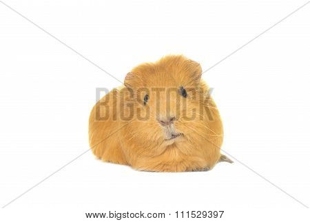 Funny Snout Guinea Pig Looks On A White Background