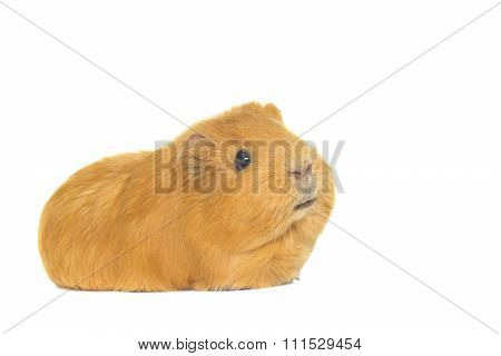 Guinea Pig Looks On A White Background