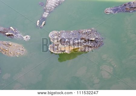 A Large Freshwater Crocodile, Scary Crocodiles In Water.