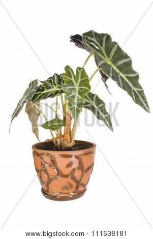 Alocasia sanderiana in a pot.