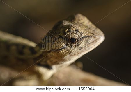 Brown chameleon with eyes close up