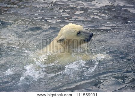 Polar bear cub floating in water