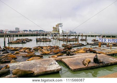 Many Sea Lions On Pier 39 In San Francisco, California, Usa