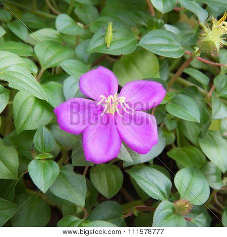 Malabar Melastome Flower