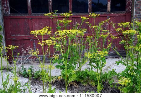 Wild Parsnips in Front of an Abandoned Building