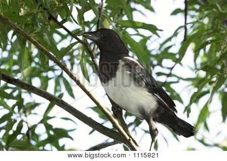 Magpie Nestling