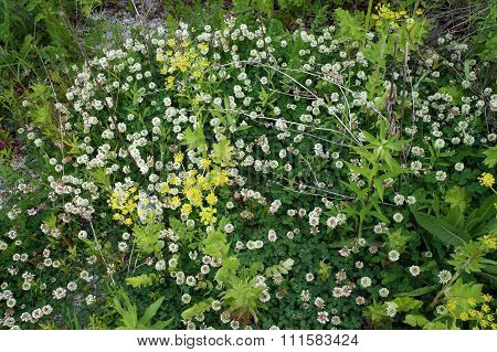 White Clover and Wild Parsnip