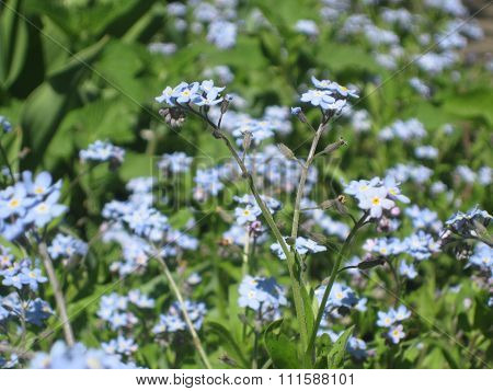 bright blue forget-me flowers in the meadow