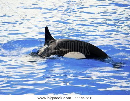Bild von einem Killer-Wal im Wasser