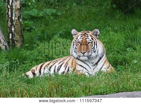 Siberian Tiger lying on grass
