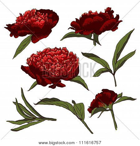 Peony flowers vector llustration set