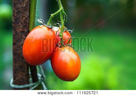 Branch Of Tomatoes At Vegetables Garden