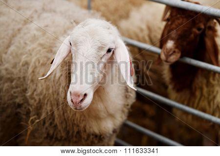 Sheep Inside A Farm