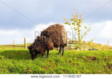 Highlander Black Ram