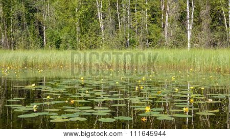 Lily Pads and Forest