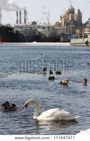 Wild White Swan Swims In River City, An Urban Environment.