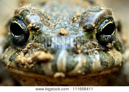 Caspian toad (Pseudepidalea variabilis) head-on on a brown field site in Baku, Azerbaijan