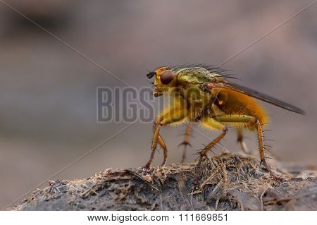 Common yellow dung fly (Scathophaga stercoraria) standing on cow pat