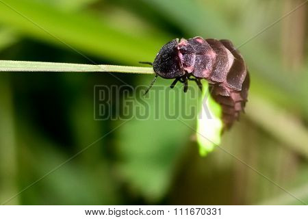 Glow-worm (Lampyris noctiluca) showing light on grass