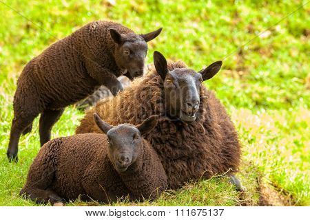 Black Sheeps Family