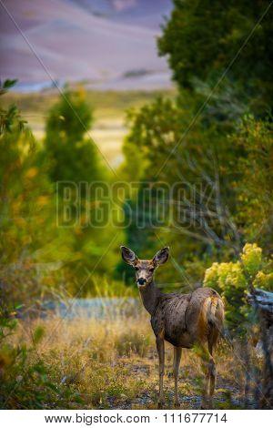Wild Deer Colorado Wildlife