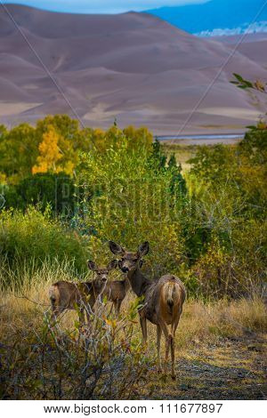 Wild Deer Family Colorado Sand Dunes Wildlife
