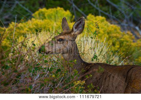 Wild Deer Profile Colorado Wildlife