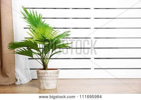 Palm tree (Livistona Rotundifolia) in flowerpot on floor at home