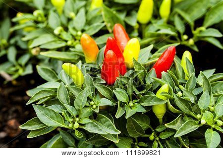 Spicy Chili Colorful Planting