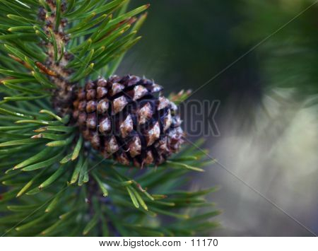 Pine Cone And Needles