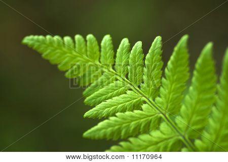 The Fern Leaf