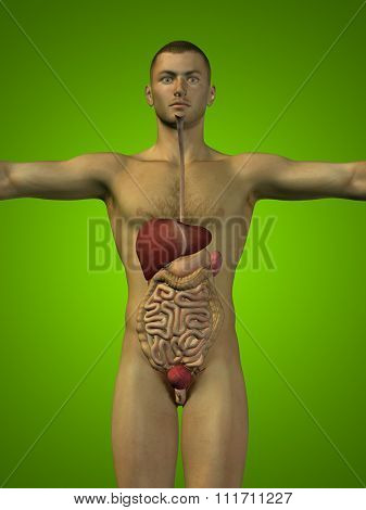 Concept or conceptual anatomical human or man 3D digestive system on green background metaphor to anatomy, medical, colon, liver, body, stomach, medicine, intestine, biology, internal digest