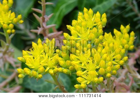 Closeup photo of star shaped yellow flowers of Sedum, Stonecrop in the summer. Stonecrop typically grows among rocks or on walls.