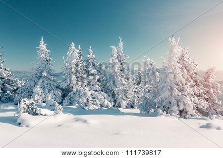 Majestic winter trees glowing by sunlight. Dramatic wintry scene. Location Carpathian national park, Ukraine, Europe. Alps ski resort. Beauty world. Instagram toning effect. Happy New Year!