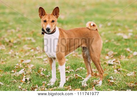 Basenji dog on grass outdoor. The Basenji is a breed of hunting