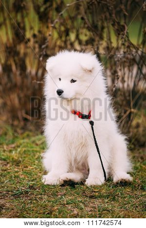 White Samoyed Puppy Dog Outdoor in Park