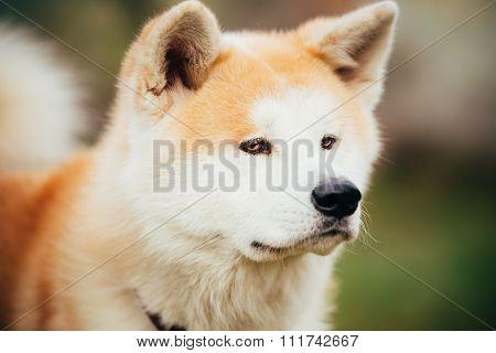 Akita Dog or Akita Inu, Japanese Akita Outdoor. Close Up