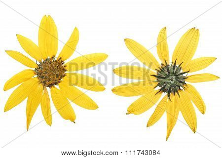 Pressed And Dried Yellow Jerusalem Artichoke Flower (topinambur Or Helianthus Tuberosus )