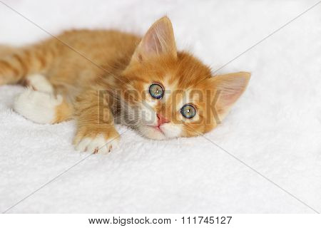 Cute Ginger Kitten Looking