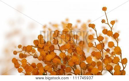 orange mimosa branch isolated on white background