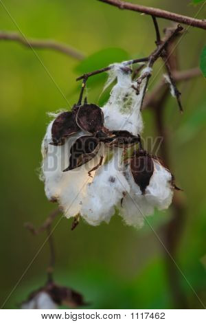 Cotton On Plant Ready For Harvest