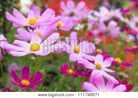 Spring Multi-colored Flowers Nature. Beautiful Flowers.