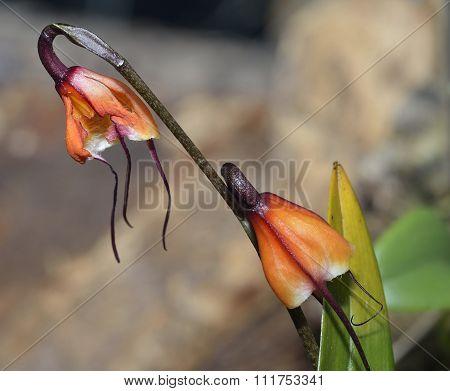 Father Sodiro's Dracula Orchid