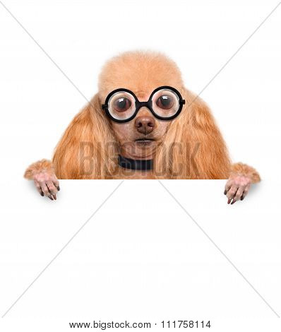 crazy silly dog with funny glasses behind blank placard