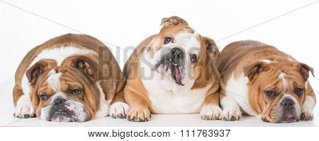 three bulldogs laying down on white background